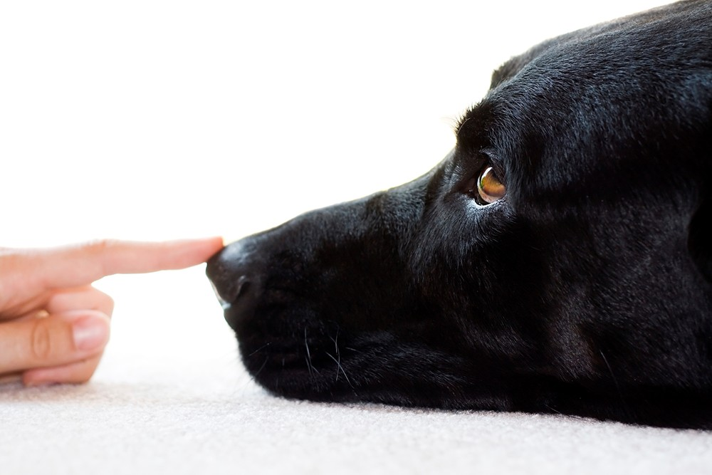 A white female's hand touches the wet nose of a black labrador retriever, laying on carpet isolated against white background. Narrow DOF, eye in focus.